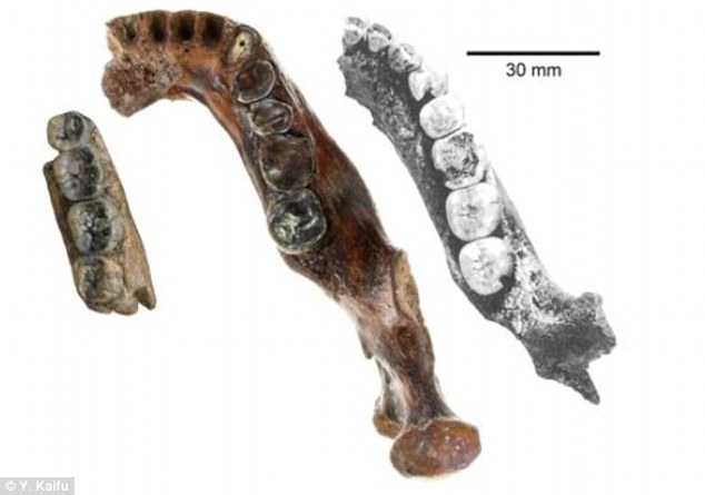 The Penghu mandible (centre) found off the coast of Taiwan