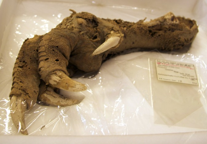 Preserved Megalapteryx (moa) foot, Natural History Museum. (Wikimedia Commons)