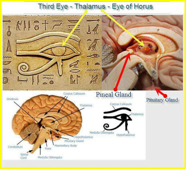 Image result for pineal gland eye of horus