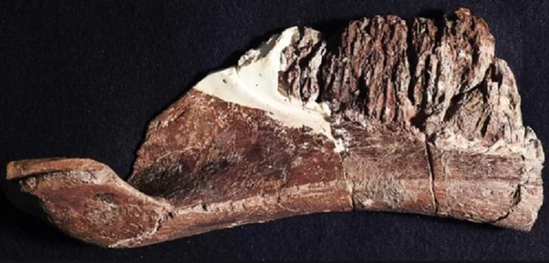 Duck-billed dinosaurs had complex teeth