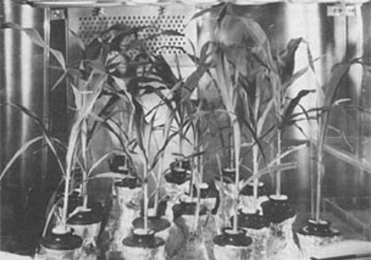 moon rocks, corn plants