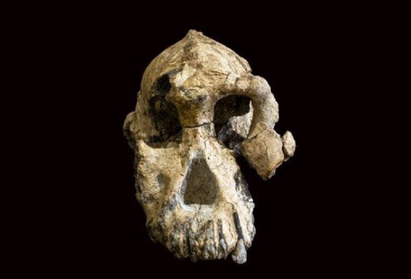 Skull of Australopithecus anamensis