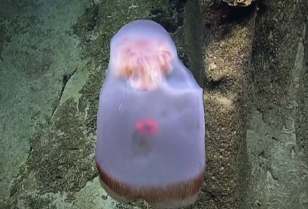 Scientists observed the Deepstaria jellyfish changing shape